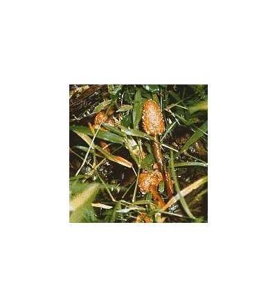 19. Amazon Mushroom No. 1 - 15 ml.