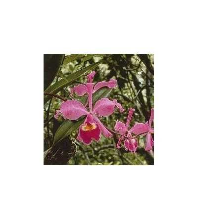 Abundance Orchid 15 ml.