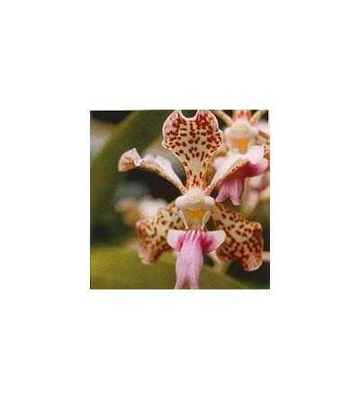 Fun-Orchid 15 ml.