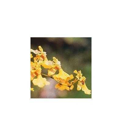 Orquidea Amor 15 ml.