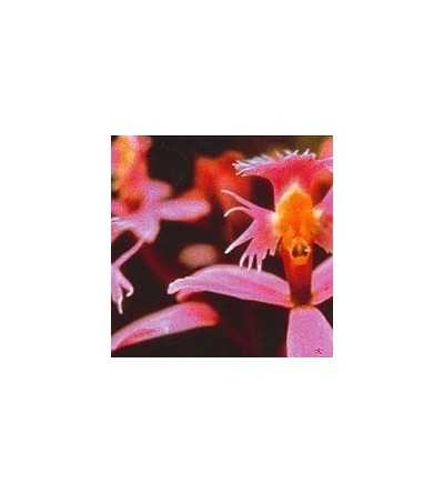 Angel-Orchid 15 ml.