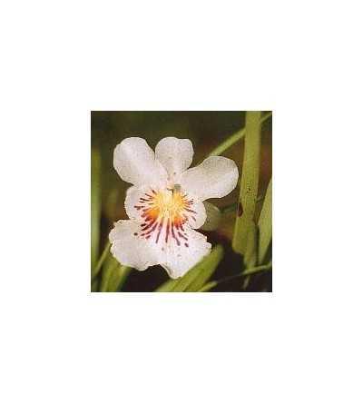 Orquidea Angel de la Guarda 15 ml.
