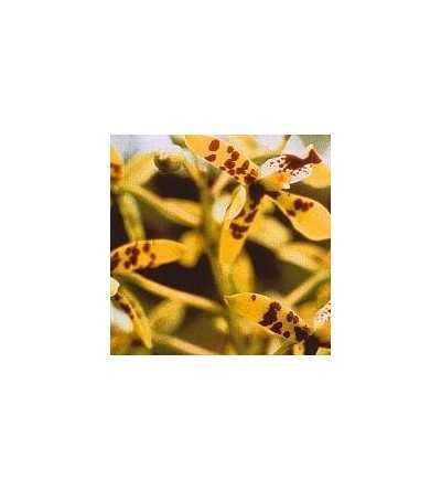 Deva-Orchid 15 ml.