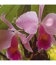 Orquidea Inspiración 15 ml.