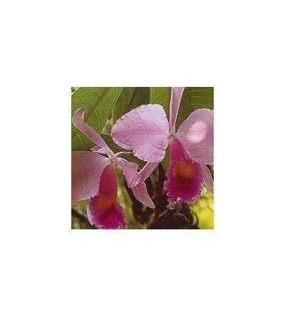 Inspiration-Orchid 15 ml.