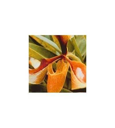 Orquidea Psiquis 15 ml.