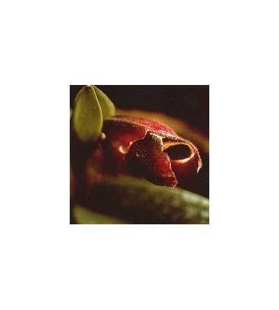 Orquidea Recuerdos 15 ml.