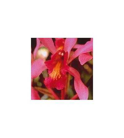 Higher-Self-Orchid 15 ml.