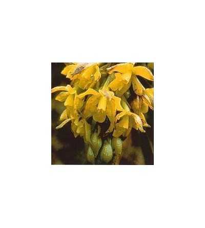 Orquidea Sol 15 ml.