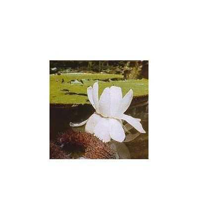 Orquidea Victoria Regia 15 ml.