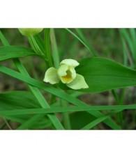 1 - Cephalanthera Damasonium 15 ml.