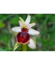 12 - Ophrys Sphegodes 15 ml.