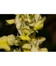 17 - Orchis Pallens 15 ml.