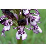 18 - Orchis Purpurea 15 ml.