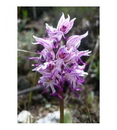 19 - Orchis Simia 15 ml.