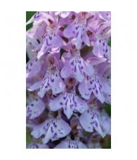 2 - Dactylorhiza Fuchsii 15 ml.