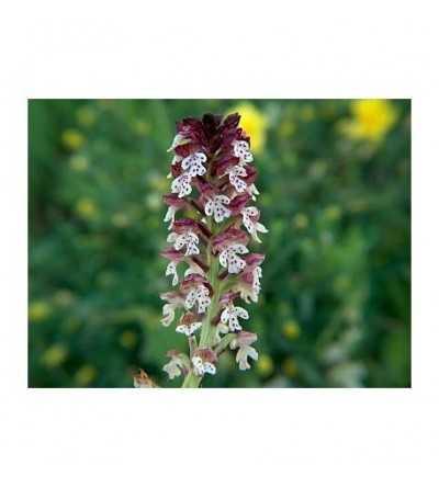 20 - Orchis Ustulata 15 ml.