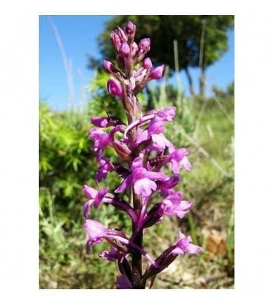 6 - Gimnadenia Conopsea 15 ml.