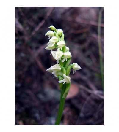 8 - Neotinea Maculata 15 ml.