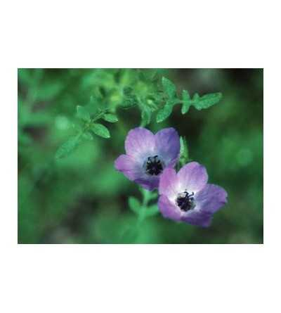 Fiesta Flower 7,5-30 ml.