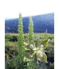 Green Cross Gentian 7,5-30 ml.