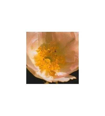 Japanese Rose 15 ml.