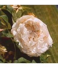 Rosa Manzana Híbrida - Souvenir 15 ml.