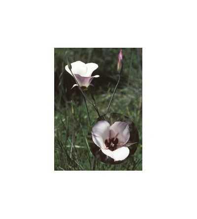 Splendid Mariposa Lily  7,5-30 ml.