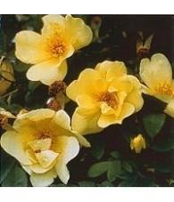 Rosa Oro Primavera 15 ml.