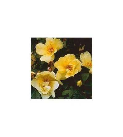 Rosa Oro Primavera (3) 15 ml.