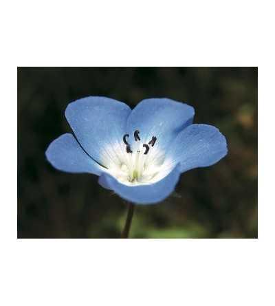 Baby Blue Eyes 7,5-30 ml.