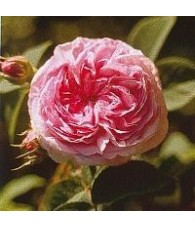 Rosa Reina de Dinamarca 15 ml.