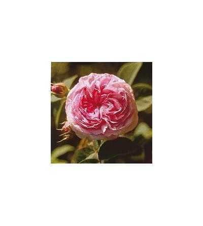 Rosa Reina de Dinamarca (9) 15 ml.