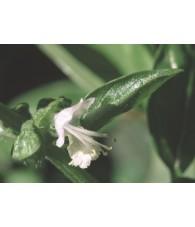Basil - Albahaca 7,5-30 ml.