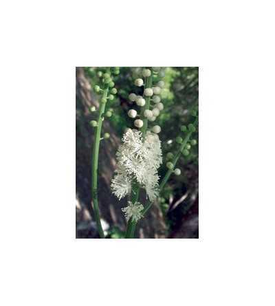 Black Cohosh 7,5-30 ml.