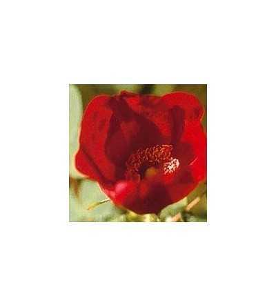 Hybride Wild Rose 15 ml.
