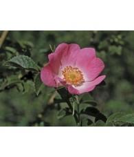 California Wild Rose 7,5-30 ml.