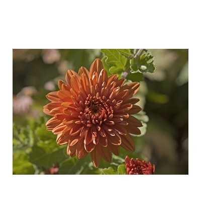 Chrysanthemum 7,5-30 ml.