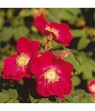 Tibetan Rock Rose 15 ml.