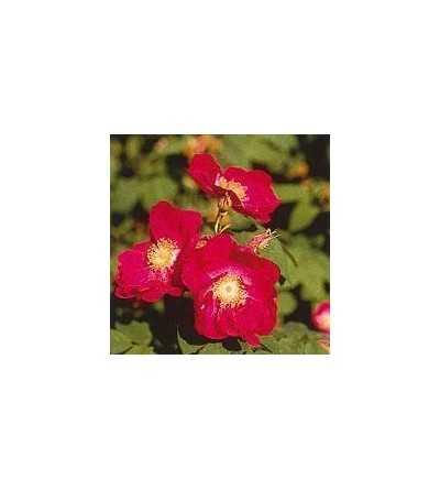 Tibetan Rock Rose 15 ml.