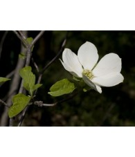 Dogwood 7,5-30 ml.