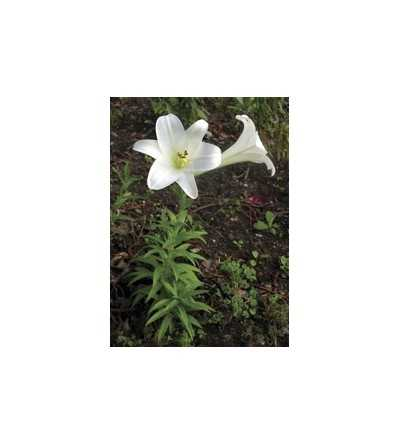 Easter Lily 7,5-30 ml.