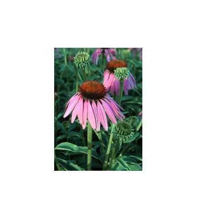 Echinacea  7,5-30 ml.