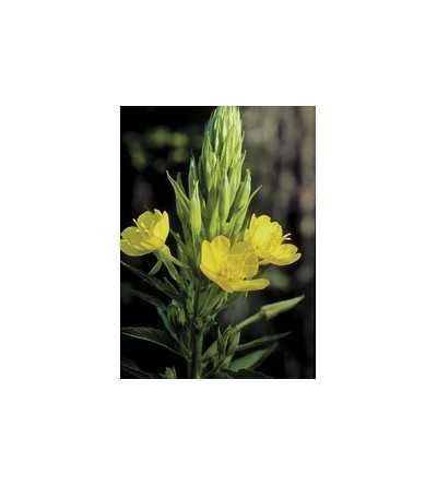 Evening Primrose 7,5-30 ml.
