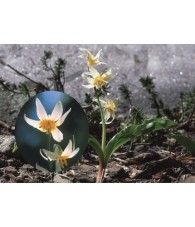 Fawn Lily 7,5-30 ml.