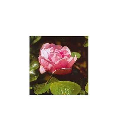 Hybrid Apple Rose - Sarah van Fleet 15 ml.