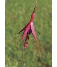 Fuchsia 7,5-30 ml.