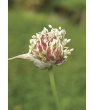 Garlic - Ajo 7,5-30 ml.