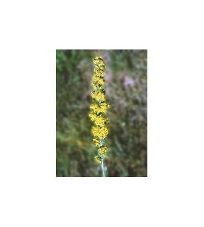 Goldenrod - Vara de Oro  7,5-30 ml.