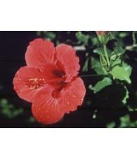Hibiscus 7,5-30 ml.